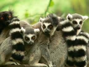 lemur wallpaper and background animals town