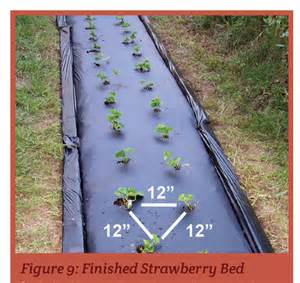 Strawberries in schools curriculum grow for it