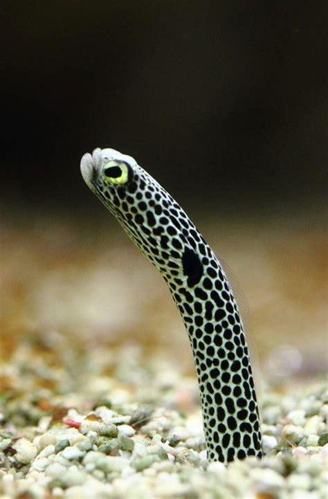 Garden Eels by 1000 Images About Garden Eels On Gardens