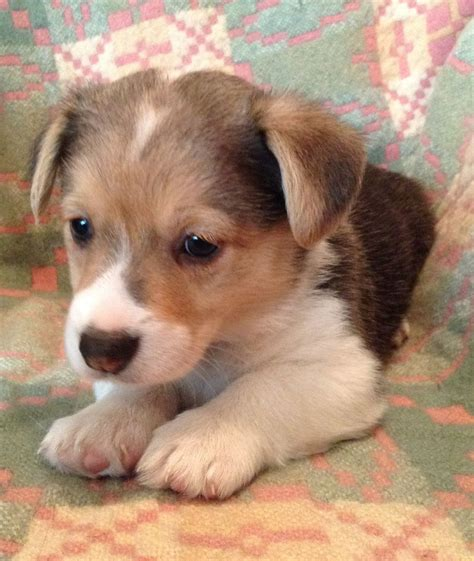 corgi puppies colorado tri colour corgi puppies from wales caernarfon gwynedd pets4homes