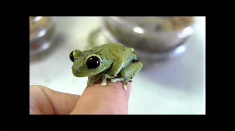 frog gig for sale cameroon big eyed tree frogs