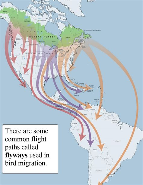 birds migration patterns www pixshark com images