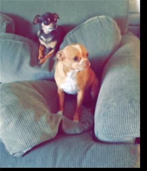 puppies for adoption wi dogs wisconsin free classified ads