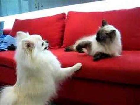 pomeranian and cats white pomeranian vs himalayan cat kitten white pomeranian
