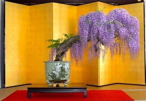 glicine in vaso prezzo bonsai glicine attrezzi e vasi per bonsai consigli per