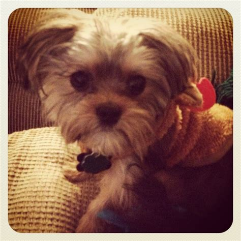 shorkie haircut photos 43 best images about haircuts for cookie on pinterest
