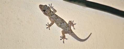 tropical house gecko tropical house gecko