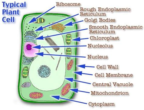 plant cell model cell model diagram project parts