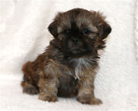 shih tzu utah enchanted mountain shih tzu and imperial and dads utah breeder of quality
