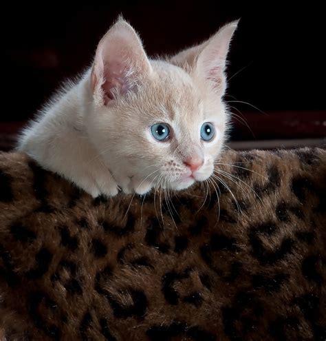 Cutest Cats Pet Pet Pet Product 8 by Free Images Animal Pet Fur Kitten