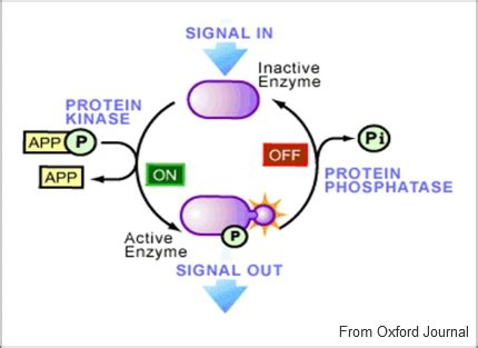 protein kinase is an enzyme that protein kinase introduction enzyme