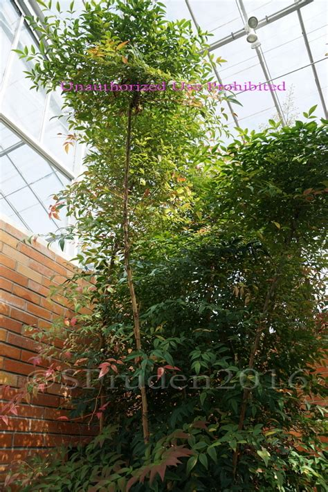 Plantfiles Pictures Heavenly Bamboo Nandina Nandina Botanical Gardens Arbor Mi