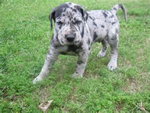 great dane puppies for sale in louisiana great dane puppies louisiana sportsman classifieds la