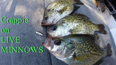 catching crappie   minnows   fish