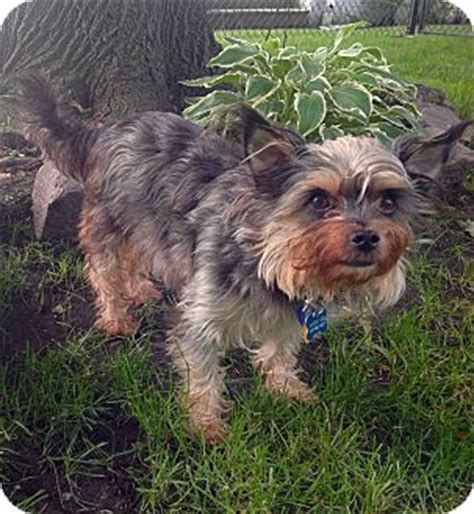 cairn yorkie adopted lincolnwood il yorkie terrier cairn terrier mix