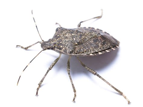 picture of a bed bug stink bug information identify exterminate stink bugs