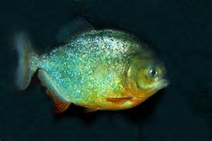 single large Piranha for sale, shown above, swimming in a large dark