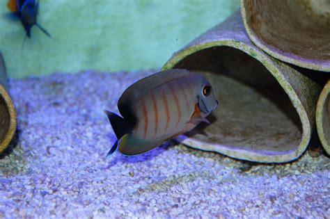 Aquarium 100 L 2023 by Acanthurus Pyroferus 3 4cm Nautilus Aquaristik