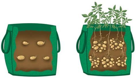 piantare patate in vaso come coltivare le patate in 10 modi diversi greenme