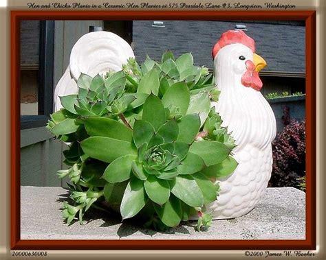 hens and chicks in a hen planter sempervivum hen