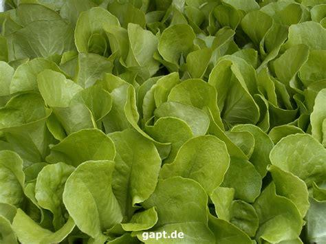 salat pflanzen ab wann wie salat einpflanzen