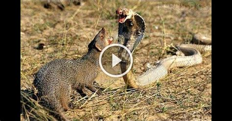 mongoose vs cobra snake animal attack golden king cobra vs mongoose topvm