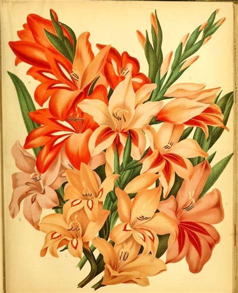 Salep Albert gladiolus hort circa 1880 iridaceae the iris family