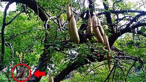 Liontin Salib Bentuk Pohon 5 sausage fruit tree atau buah pohon sosis kigelia africana