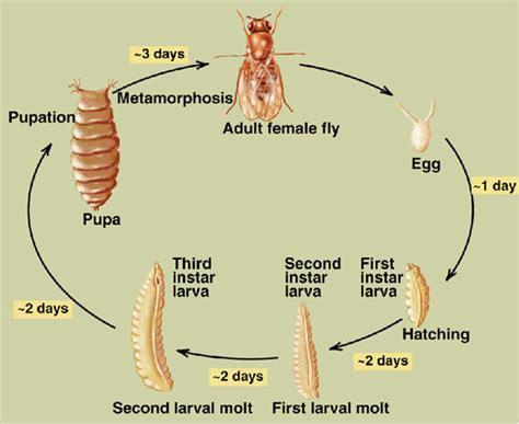 fruit fly lifespan september 2013 mybiochemology