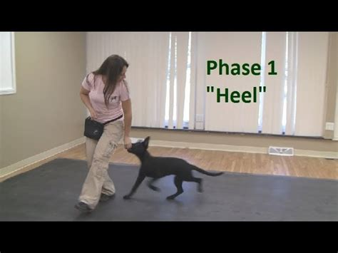 how to teach a puppy to heel how to a to heel k9 1 tutorial find