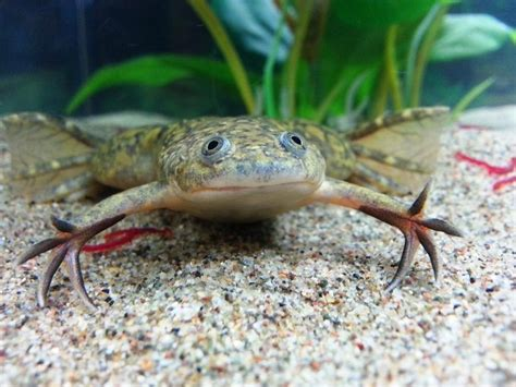 African Clawed frog | African Clawed Frogs | Pinterest
