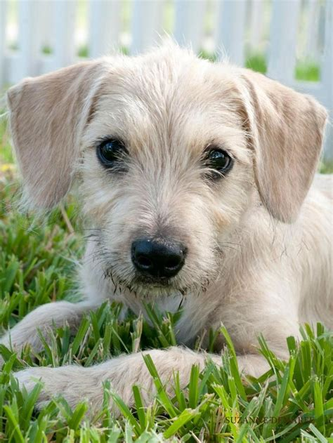 short haired dorkie mixes wire haired terrier mix puppies pictures to pin on