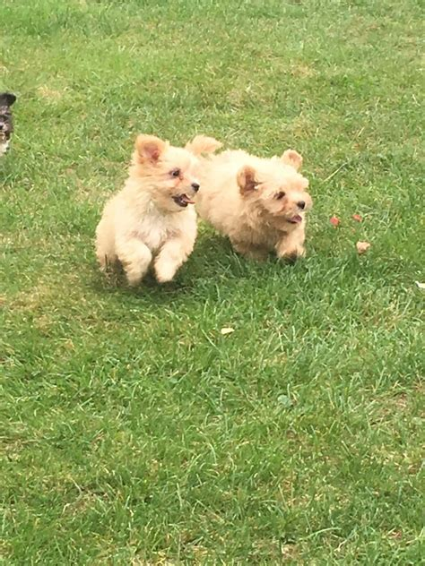pomeranian x maltese puppies pomeranian x maltese maltipom dartford kent pets4homes