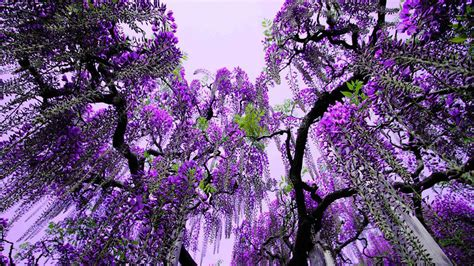 purple flowering tree flowers pinterest