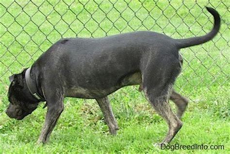 pitbull heeler mix puppy pitbull heeler mix breed breeds picture