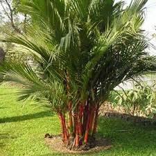 Bibit Tanaman Palm Merah jual pohon palem merah harga terjangkau jual bibit