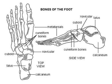 foot bone diagram 301 moved permanently