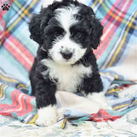 tiny bernedoodle puppies for sale best 25 miniature puppies ideas on miniature dogs poodle mix puppies and