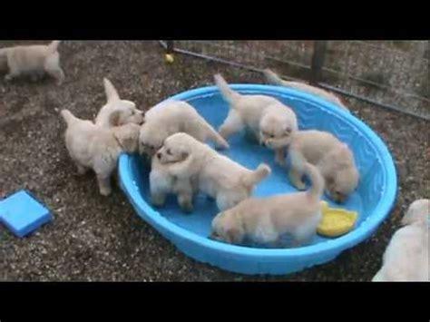 really golden retriever puppies 5 week golden retriever puppies really mad when someone doesn t fill their pool