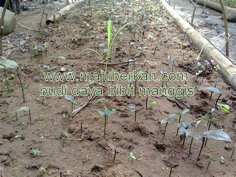 Bibit Kecambah Cengkeh budidaya bibit manggis budidaya bibit tanaman manggis