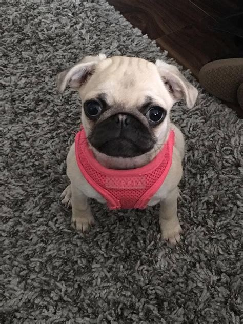 6 month pug chanel 6 month pug for sale east pets4homes