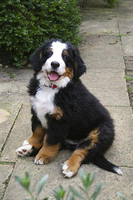 Bernese Mountain Dog as a Puppy