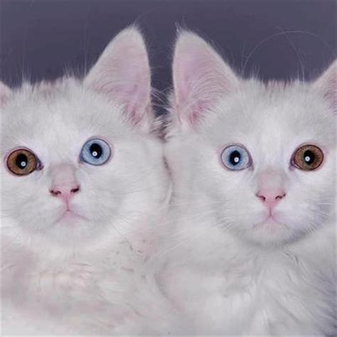 twin cats twin cats with 2 sets of dna chimera cats with 2 eye