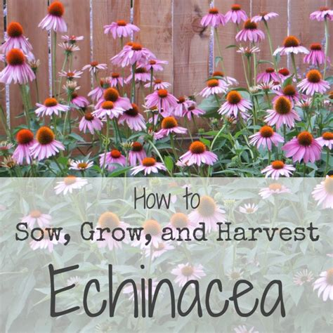 sowing growing and harvesting echinacea ever growing farm ever growing farm