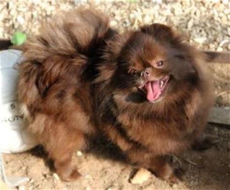 mountain crest pomeranians quot pomeranian and kleinspitz puppy for sale quot quot spitz pictures quot