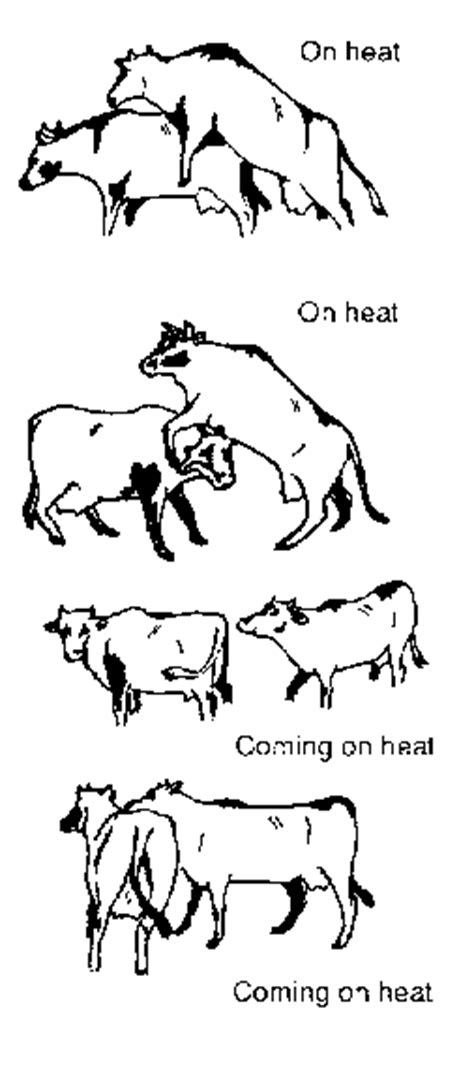 heat l for goats chapter 3 cattle sheep goats and buffalo