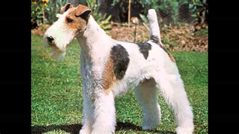 fox terrier puppies for sale near me fox terrier breeds picture