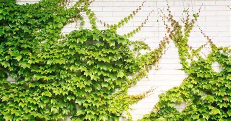 climbing plants india do u like green refreshing creative walls here are 12