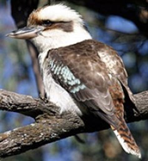 laughing kookaburra | birds in backyards