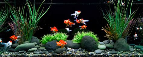 aquarium design goldfish how to care for a goldfish food tank water and other